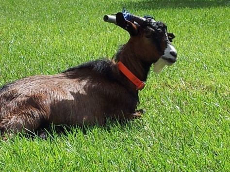 Dixie The Blind Deaf Goat | Shallow Pond Farm
