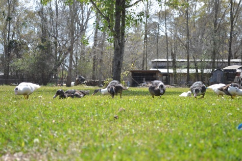 Muscovy Ducks F.O.D. walk down... Shallow Pond Farm