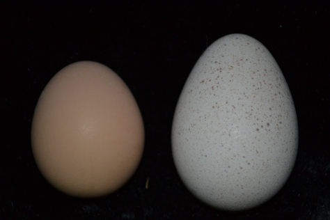 Chicken egg vs. turkey egg