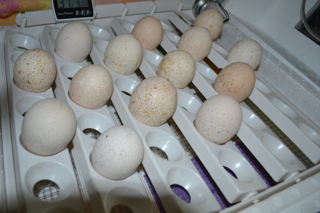 Incubating turkey eggs - Shallow Pond Farm