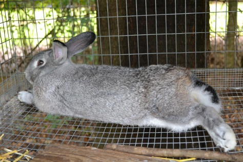 Keeping Rabbits Cool in a Hot Climate | Shallow Pond Farm